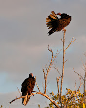 Photo: Turkey vultures at sunset