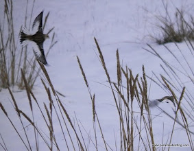 Photo: Snow Buntings in flight on the Homer Spit