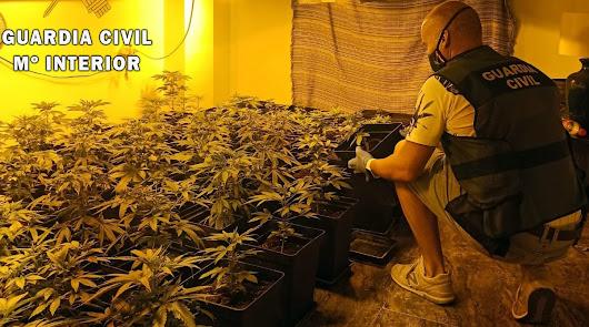 Garrucha: hallan 86 plantas de marihuana en una vivienda ocupada