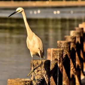 The fisher bird by Jaguar Ricko - Animals Birds ( animals )