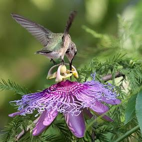 Hummingbird with Passion by April Nowling - Animals Birds ( bird, purple, hummingbird, texas, summer, passion flower, flower,  )