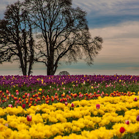 Tulips and Trees by Craig Pifer - Landscapes Prairies, Meadows & Fields ( field, oregon, tree, trees, tulips, landscape, floral, flower, wooden shoe tulip farm )