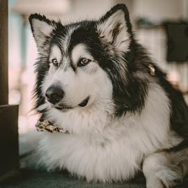 Talkeetna by Stuart Partridge - Animals - Dogs Portraits ( malamute, nikon, husky, partridge, d610 )