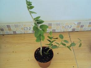 Photo: Hoya cumingiana, regalo de Pili y de Blanca Flores