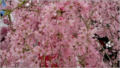 """Photo: Cires pendul (Prunus Avium """"Pendula"""")    - din Piata 1 Decembrie 1918, spatiu verde, zona monument - 2019.04.06"""