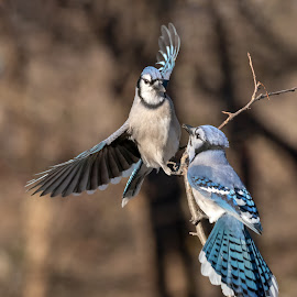 Blue Jays Fighting by Carl Albro - Animals Birds ( blue jay, wings, fighting, birds )