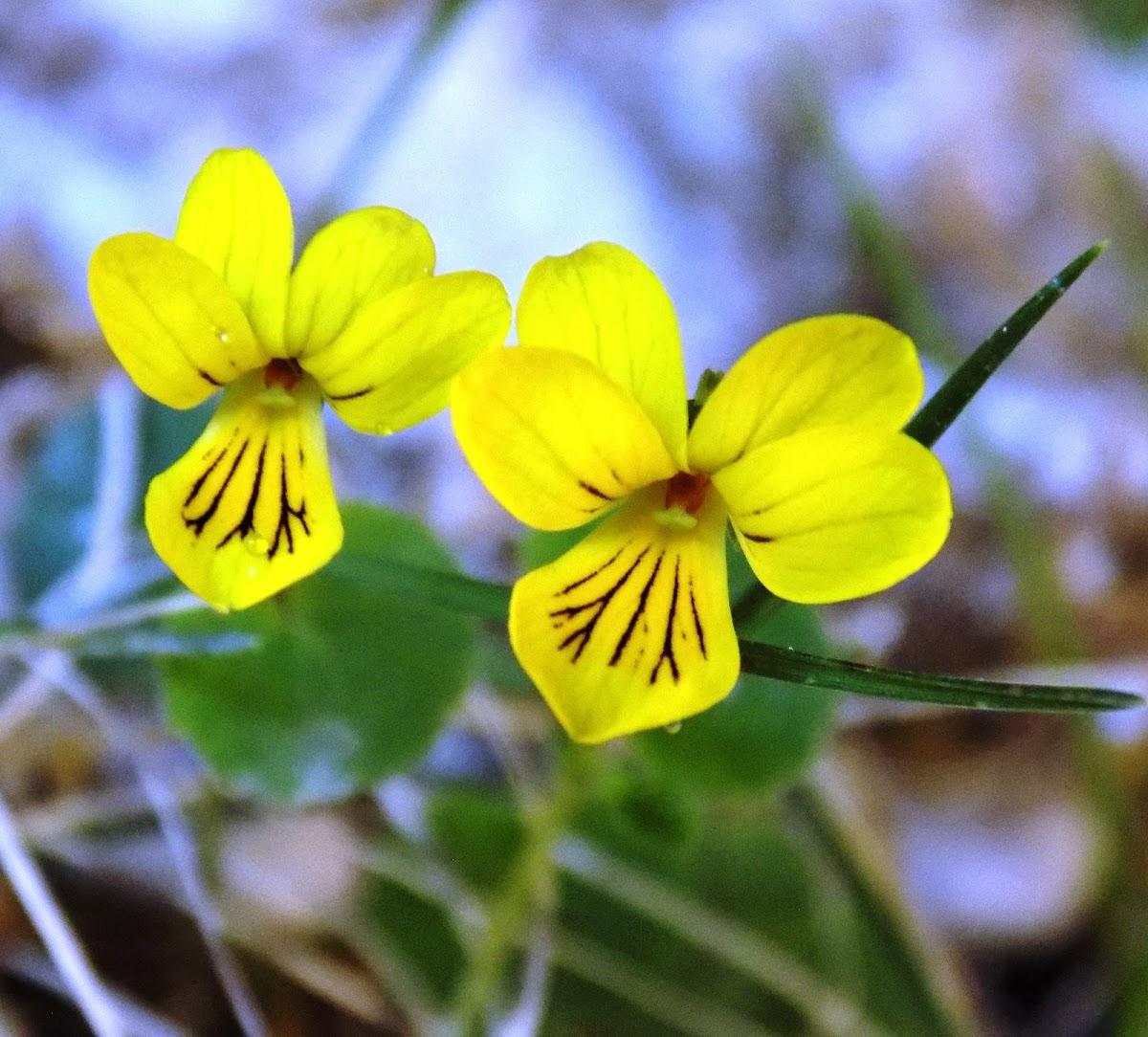 Alpine yellow-violet