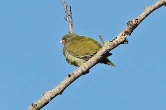 Photo: African Green-Pigeon