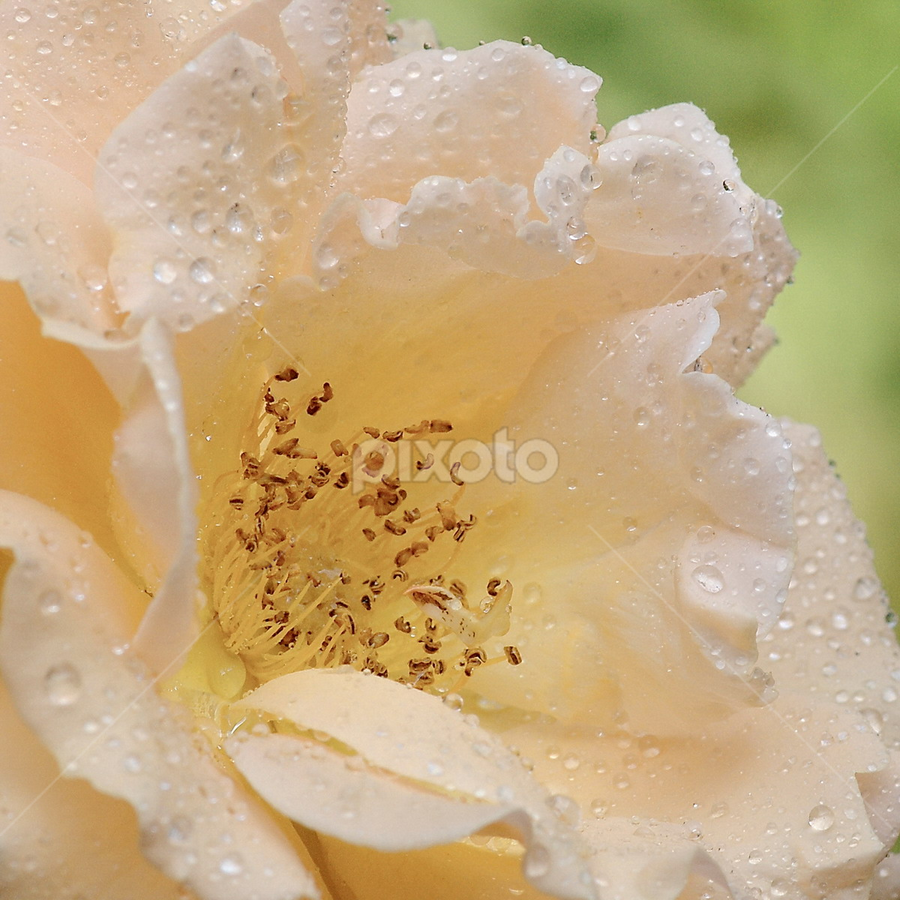 Dew by Ad Spruijt - Nature Up Close Flowers - 2011-2013