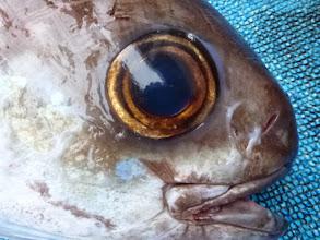 Photo: かわいい目玉の魚です。 6kgでした。