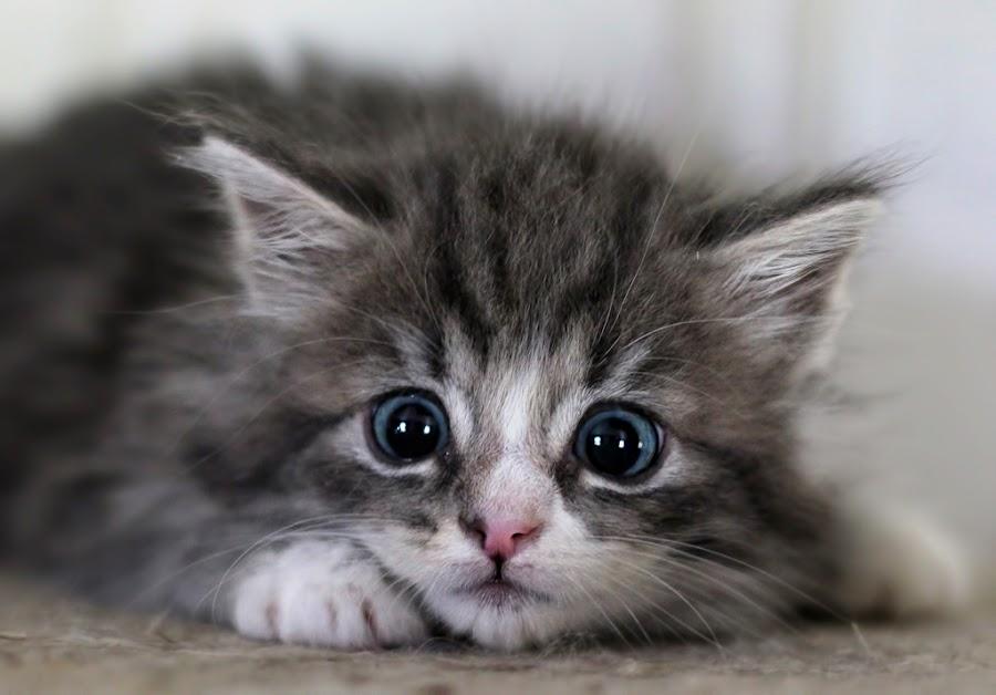 Little hunter by Jane Bjerkli - Animals - Cats Kittens ( playing, kitten, cat, sweet, blue, pet, hunting, cute, kitty, portrait, eyes, animal,  )