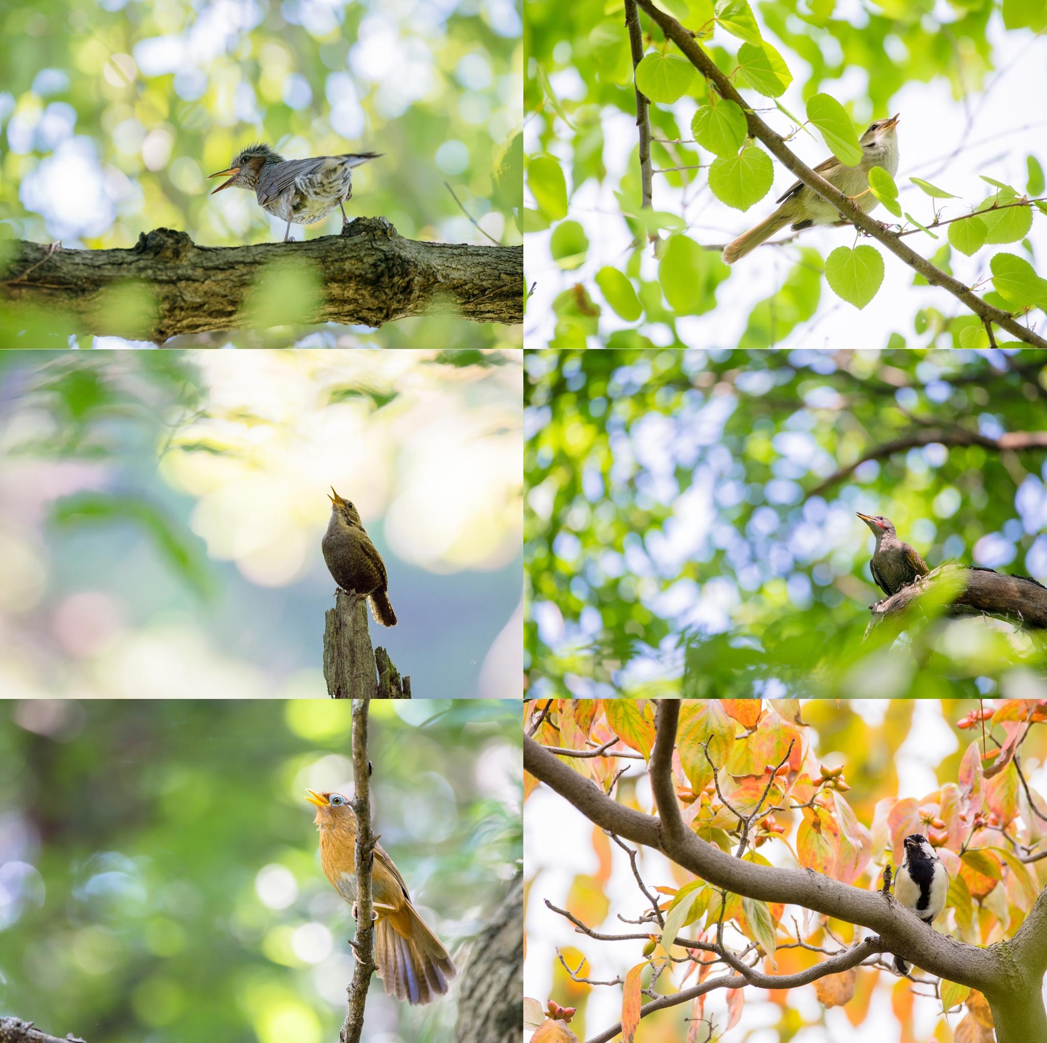 Photo: 「歌声」 / Singing voice.  写真展『まなざし』出展予定作品より 今回ご紹介させていただくのは 8つの小さなテーマの内の一つ 『歌声』です。  その存在を誇示したり、 恋の歌を歌ったり、 時には警戒をしていたり、 小鳥たちは歌声から たくさんのメッセージを届けてくれます。 そんな精いっぱいに歌う小鳥たちの中から 6枚を選びました。  みなさんはどんな歌声を 聴いてみたいですか?  直接声をお届けすることはできませんが、 目の前で見ていただき そしてそっと目を閉じて イメージの中でその声を感じてもらえたら嬉しいです。  写真展もいよいよ明日より開催されます。 2日目の21日(土)には 18時よりYouTubeをかいして ライブトークも行います。 1時間と言う限られた時間ですが、 実際に訪れることができない方にも 楽しんでいただけたら幸いです^^  トークは中継されますが、 アーカイブとして保存され、 その後も見ていただくことが可能となります。 ぜひ下記のイベントページをチェックしてみてください☆  ・YouTube Live イベントページ < https://goo.gl/yK9vBA >  ・大塩貴文 写真展『まなざし』 2015年11月20日[金]-29日[日] < http://islandgallery.jp/12134 >