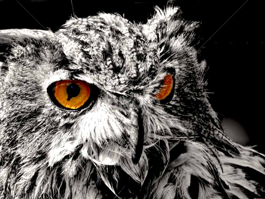 Owl be seeing you! by Dave Smith - Animals Birds ( bird, colour pop, hunting, owl, prey, display, feathers, eyes )