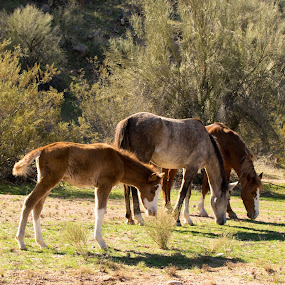 We Are Family by Greg Johnson - Animals Horses ( mustang, colt, family, horse, wild horses,  )