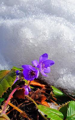 Viola di marzo di marinafranzone