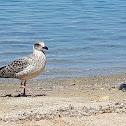 Lesser black-backed gull (juvenile)