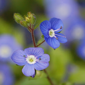 Blues by Angel Harvey - Novices Only Flowers & Plants ( blue, close up, flower,  )