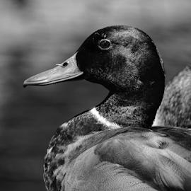 Mallard  by Todd Reynolds - Black & White Animals