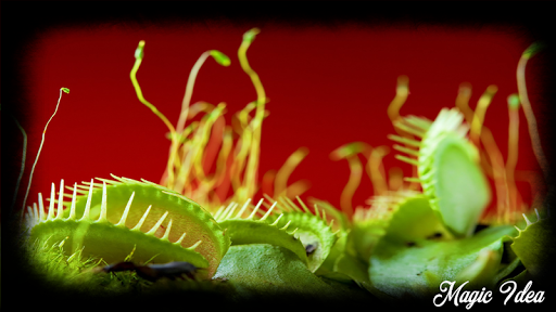 Download Venus Flytrap Wallpaper APK