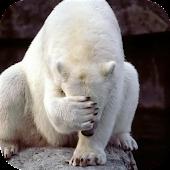 Animals.Polar bear.Wallpaper