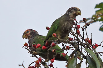 Photo: Speckle-faced Parrot