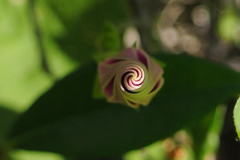 Blossom di Nida
