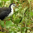 The white-breasted waterhen