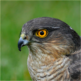 SPARROWHAWK by Ita Martin - Animals Birds ( sparrowhawk,  )