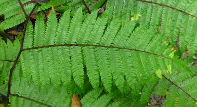 Photo: Leaves of a fern where the branch is on top