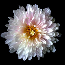 Chrysanthemum  by Asif Bora - Instagram & Mobile Other