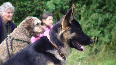 Photo: Gorgeous! Stanley German Shepherd in the forefront and Brian Labradoodle at the back