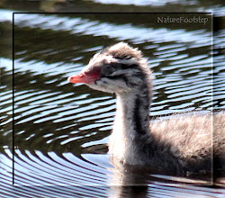 Photo: Svarthakedopping - Horned Grebe  http://nfmacro.blogspot.com/2010/10/nf-macro-6.html