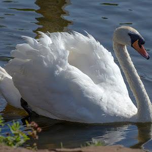 Swan (9).jpg