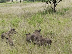 Photo: Warthogs
