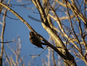 Photo: 撮影者:佐藤サヨ子 コゲラ タイトル:三角関係 観察年月日:2015年1月9日 羽数:3羽 場所:高幡台団地緑地 区分:行動 メッシュ:武蔵府中3H コメント:はじめ2羽のコゲラがそれぞれの少し離れた木々に上っていましたが、その1羽の所へ突然もう1羽が飛んできて同じ木に登ろうとしたら別の木にいた1羽が慌てて飛んできて侵入者を追い出し、その後2羽で仲良くどこかへ飛んで行きました。