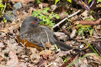 Photo: Female Spotted Towhee - Discovery Park, Seattle, WA