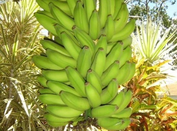 The bananas stay on the tree until ONE banana turns yellow, then it's time...