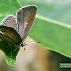 Plains Cupid, Cycad blue