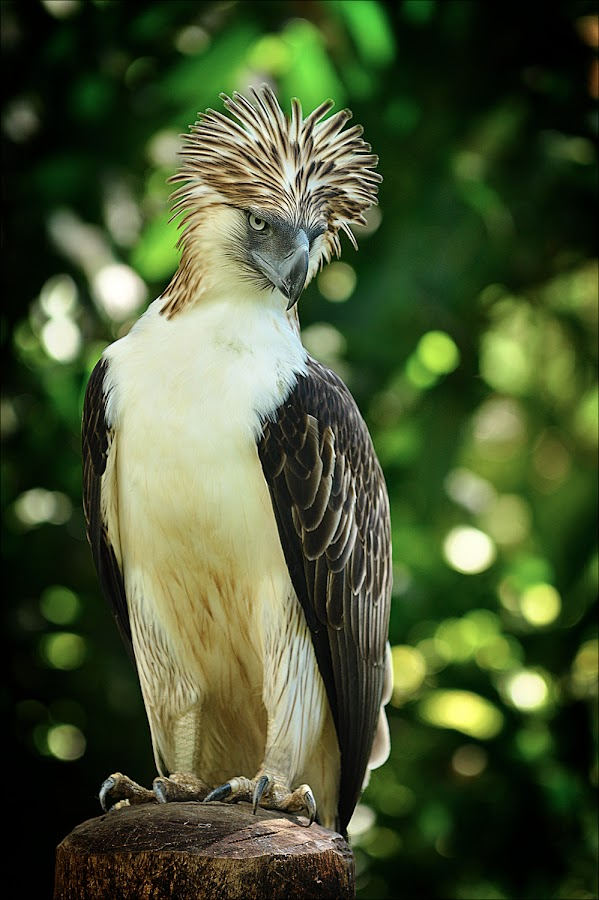 The Majestic by Rolando Pascua - Animals Birds (  )