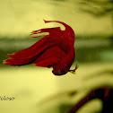 Siamese Fighting Fish (male)