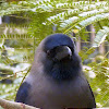 Indian Greynecked Crow