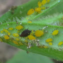 oleander aphid, milkweed aphid