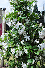 Photo: Clematis 'Forever Friends' habitus