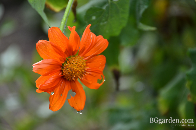 Photo: Mexican Sunflowers 2012 in BGgarden.