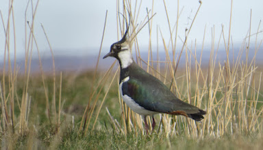 Photo: Lapwing on moor at Rosedale Apr 2015 © Updale Natural History Recorder 2015