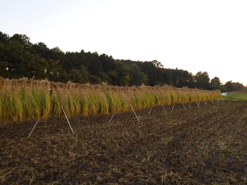 稲刈り終了、稲架にかけた稲がきれい。