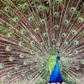 Peacock by Karthic Kumar - Animals Birds ( taronga zoo, zoo, australia, indian, national bird, zoological park, sydney )