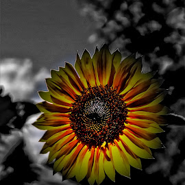 Black and yellow by Bruce Newman - Digital Art Things ( flower photography, selective color, black and white, sunflower,  )