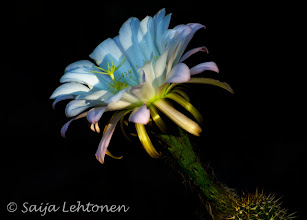 Photo: Good Monday morning!!  Saija Lehtonen Photography  #CactusFlower  #Floral  #Nature  #Arizona  #Southwest  #Cactus