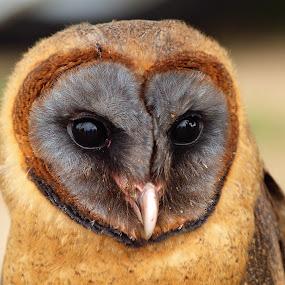Ashey faced Barn owl by Martin Hughes - Animals Birds ( ashey faced barn owl, bird of prey, barn, barn owl, owl, eyes )